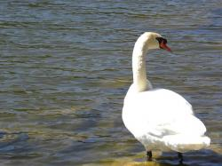 swan, pond, water, animal, bird, white
