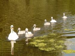 swan, swan family, water, bird, pond, animal, white