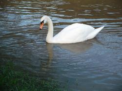 swan, water bird, pride, swim, animal, see, elegant
