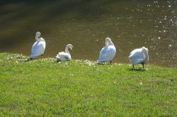 swans, molting, pruning, feathers, bird, birds, swan