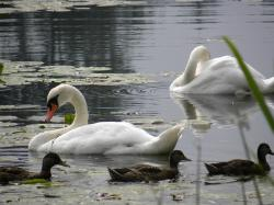 swans, pond, water, animal, white, swan, swan family