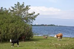 sweden, landscape, sea, ocean, bay, water, cattle