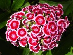 sweet william, carnation, flower, plant, nature, flora