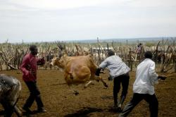 te-tugu, uganda, men, cattle, chasing, coral, farm