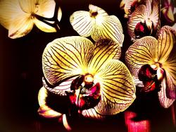 the phalaenopsis orchid, creative, vibrant color