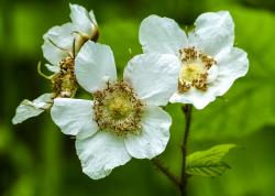 thimble berry, blossom, forest, wild fruit, berries