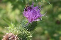 thistle, bee, insect, flowers, spiny, spur, nature