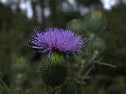 thistle, flower, blue, spur, thorns, prickly