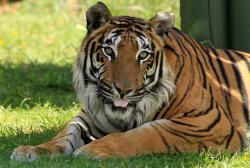 tiger, big cat, feline, wildlife, beautiful, handsome