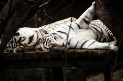 tiger, white, cat, predator, animal, wildlife, playful