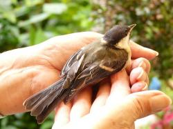 tit, parus major, hand, keep, leave, freedom, sit, rest