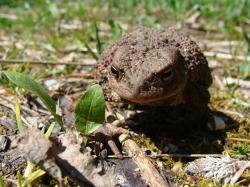 toad, animal world, amphibian, pets, nature, frogs