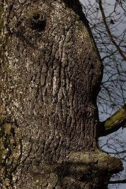 tree, bark, oak, old oak, large, layer, forest