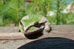 tree frog, green, amphibian, animal, creature, nature