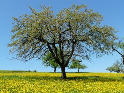 tree, meadow, nature, landscape, idyll, orchard