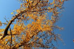 tree, poplar, black poplar, leaves, autumn