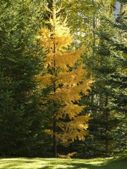 trees, forest, firs, green, yellow, autumn, fall
