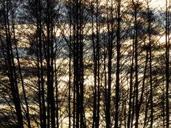 trees, tree, forest, contour, black, silhouette