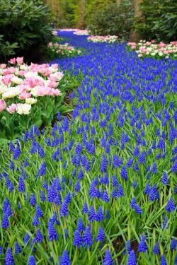 tulip, beautiful, bloom, blooming, blue, dutch, field