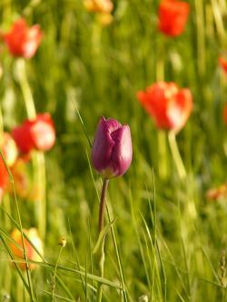 tulip, light, back light, evening light, flower, plant