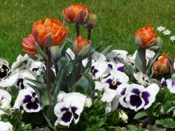 tulips, flowers, spring, park, bed, pansy, violet