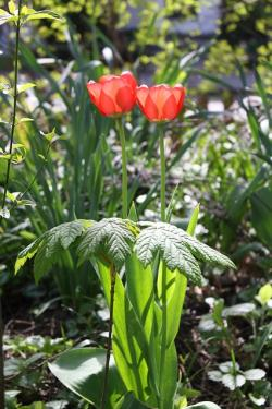 tulips, red, spring, flowers, nature, garden