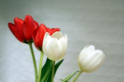 tulips, red, white, spring, aesthetics, aesthetic