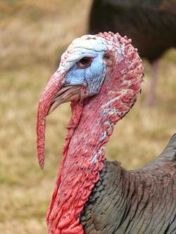 turkey, head, red, bill, wild turkey