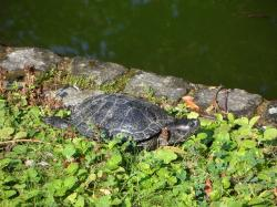 turtle, water turtle, on the water, panzer