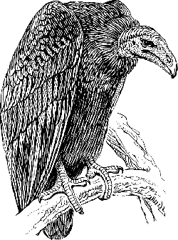 vulture, scavenger, carrion eater, bird, animal