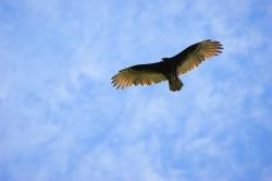 vulture, sky, clouds, fly, paraguay, south america