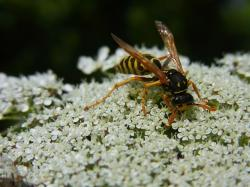 wasp, insect, meadow, nature, animal, flower