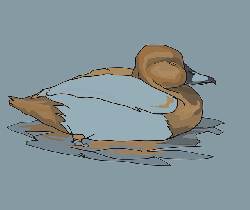 water, brown, bird, duck, swimming, wings, feathers