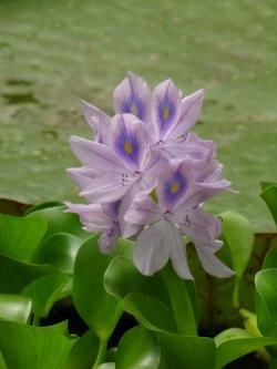 water hyacinth, flower, purple, water, pond, nature