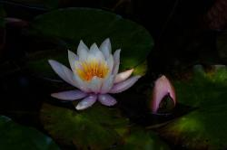 water lilies, nymphaea, bud, lake rose, aquatic plants