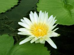 water lily, yellow lily, water, pond, leaves