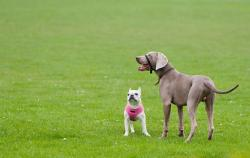 weimaraner, french bulldog, bulldog, dog, dogs, two