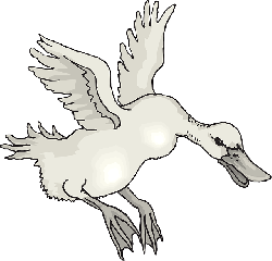 white, bird, duck, wings, animal, landing, feathers