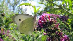 white, butterfly, lilac