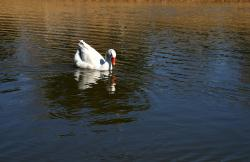 white, duck, pond, duck on water, water ripples