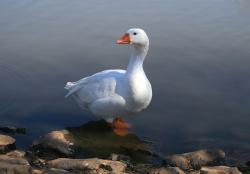 white goose, standing in water, pond