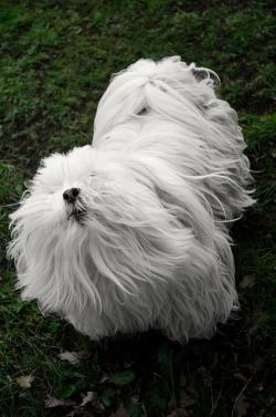 white, small, dog, animals, pet hair, guard, hair, nose