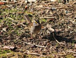white throated sparrow, bird, songbird, camouflage