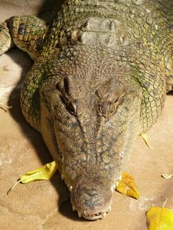 wide muzzles cayman, cayman, alligator, reptile, animal