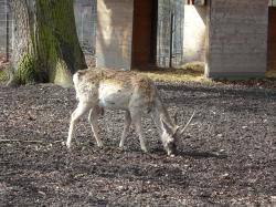 wild, fallow deer, disguised, roe deer, hirsch, animal