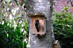 woodpecker, nature, birch, tree, bark