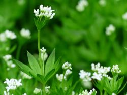 woodruff, flower, white, journal, stalk, green