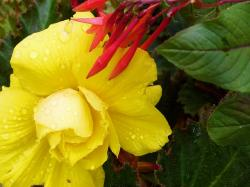 yellow, flower, raindrops, plant, nature
