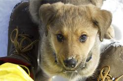 yellow, labrador, puppy, dog, animal, pet, canine, cute