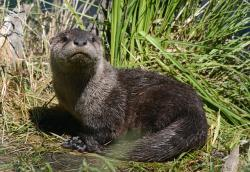 young, otter, animal, mammal, furry, wet, brown, fur